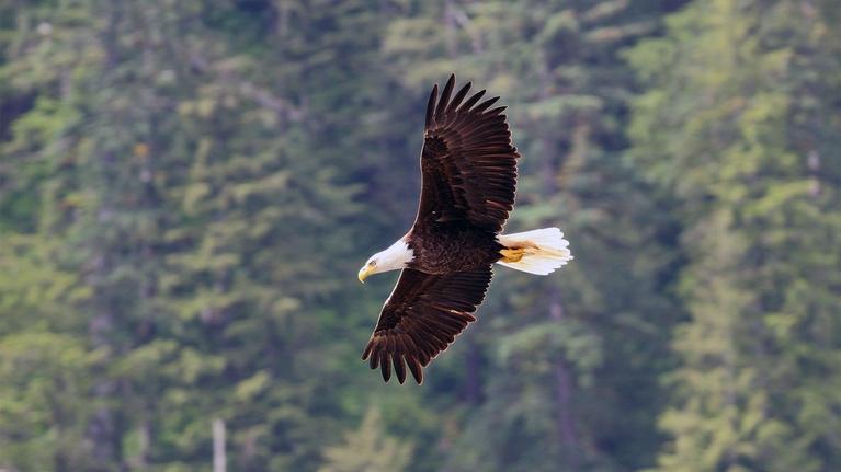 Wild Alaska Live: Wild Bald Eagle in Flight