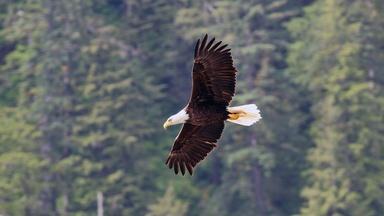 Wild Bald Eagle in Flight