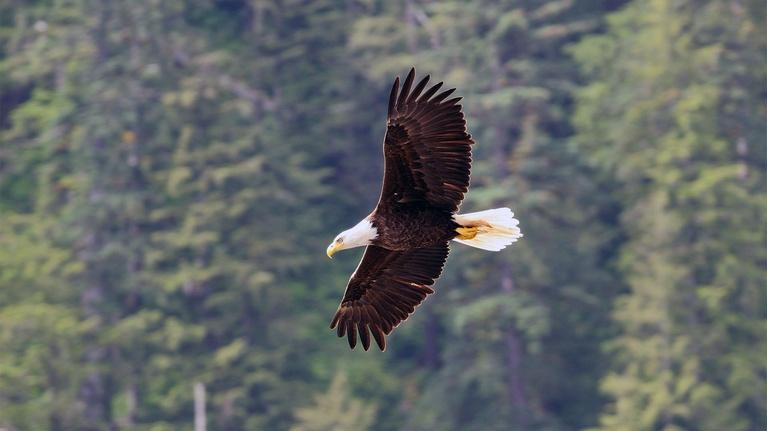 Wild Alaska Live: Wild Bald Eagle in Flight