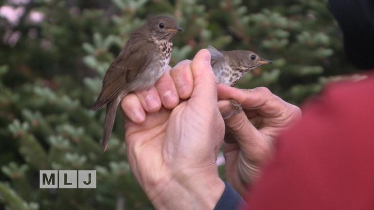 Mountain Lake Journal: Climate Change in the Adirondacks and the Bicknell's Thrush