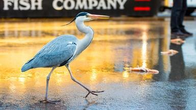 Amsterdam's Herons Find Surprising Ways to Live in the City