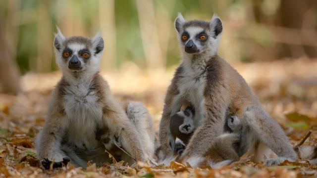 Family Matters   Primates