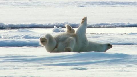Nature -- How Polar Bears Dry Off