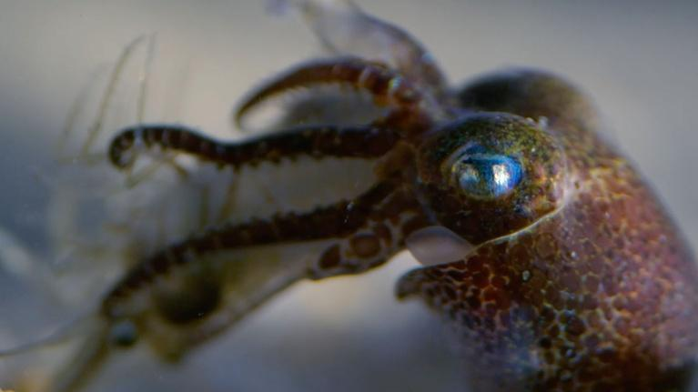 Nature: Baby Cephalopods' First Moments