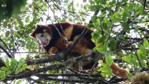 Nature -- Studying Tree Kangaroos