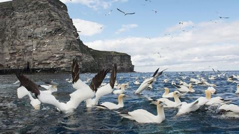 Nature -- Gannets Diving for Fish
