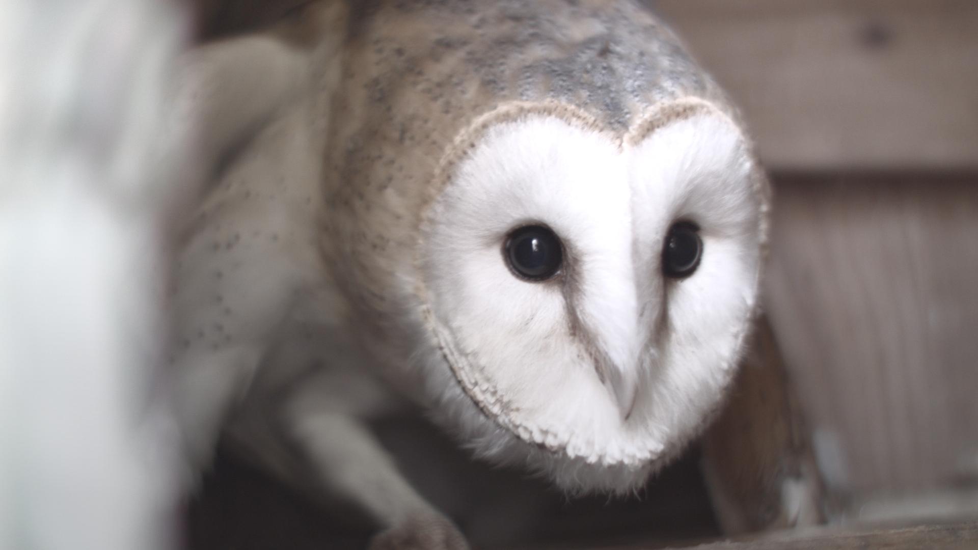 The Orphan Owl   Backyard Nature