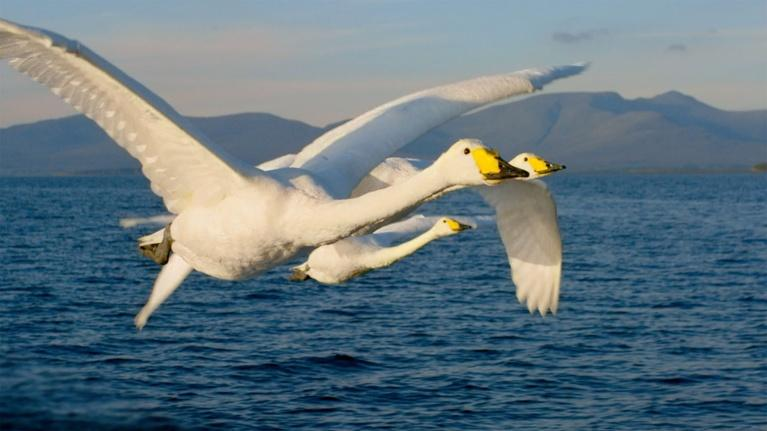 Ireland's Wild Coast: Mythical Swans Arrive in Ireland