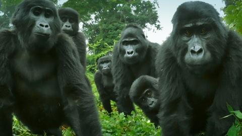 Nature -- Did You Know Gorillas Can Sing?
