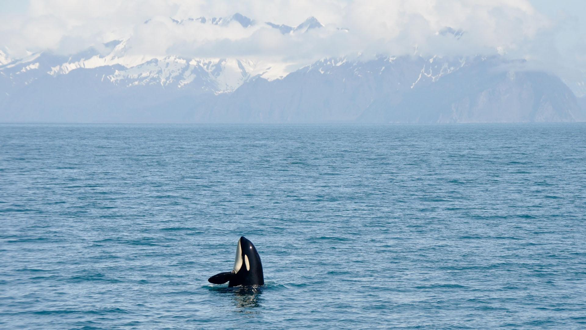 Meet the Orca Team of Wild Alaska Live
