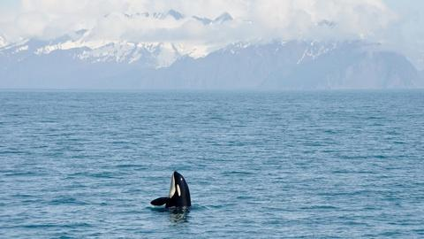 Meet the Orca Team of Wild Alaska Live