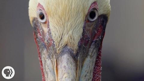 Deep Look -- S4 Ep6: How Do Pelicans Survive Their Death-Defying Dives?