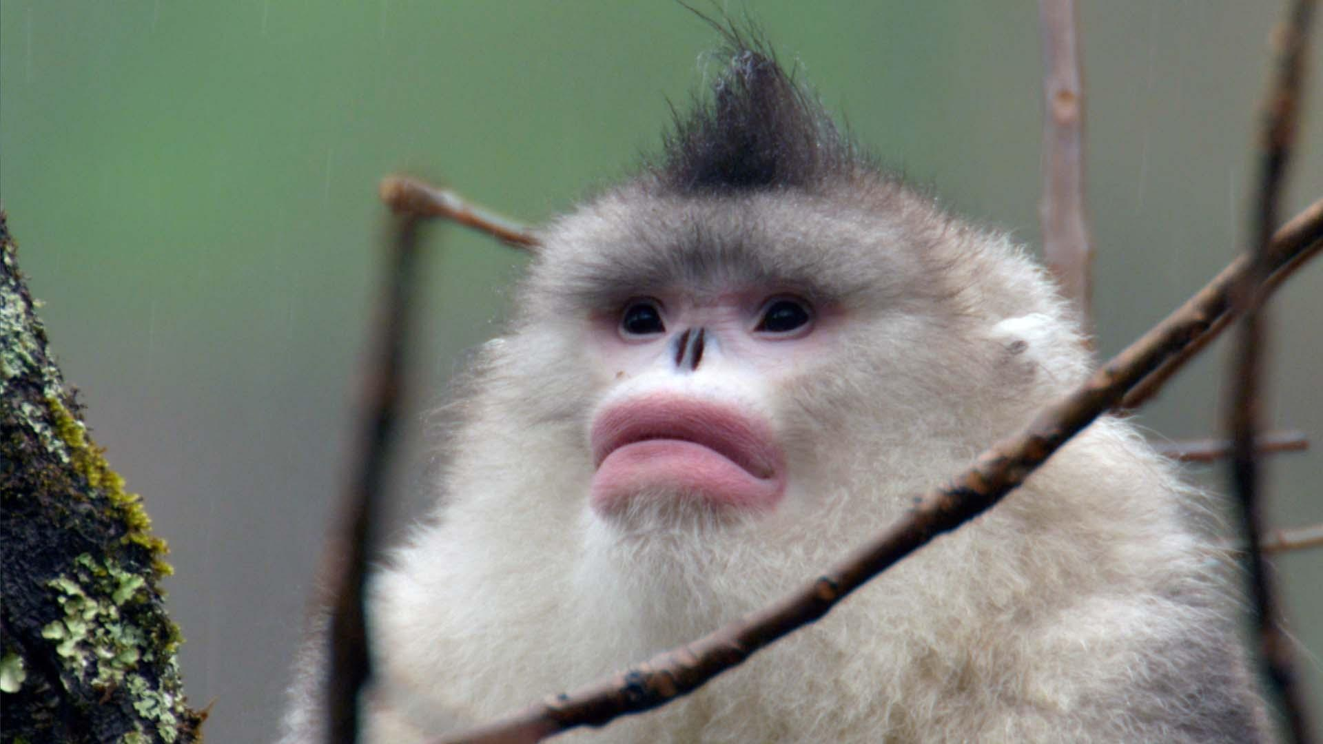Snub-nosed Monkeys Use Family to Stay Warm