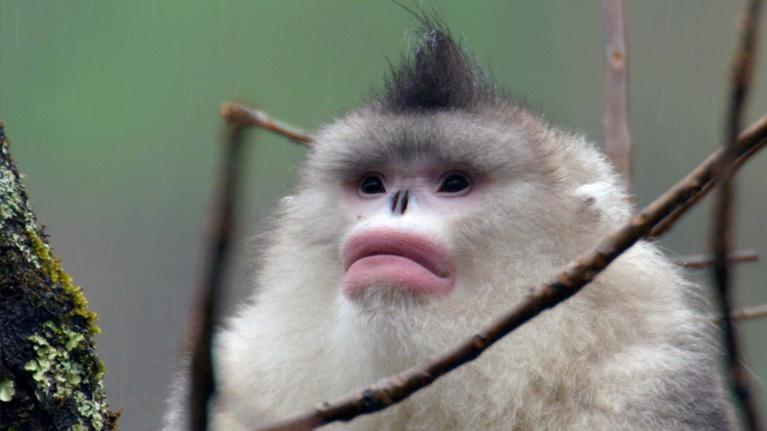Kingdoms of the Sky: Snub-nosed Monkeys Use Family to Stay Warm