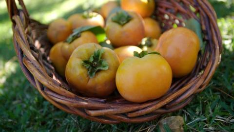 A Chef's Life -- Picking Persimmons