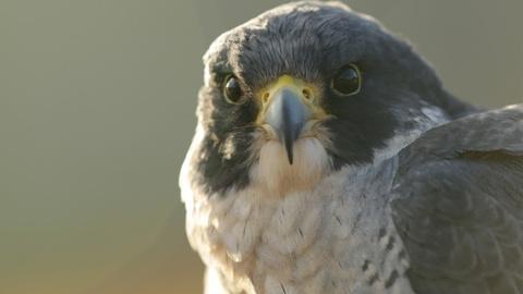 NOVA -- World's Fastest Animal Preview