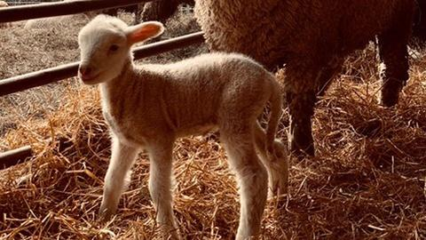 Nature -- Watch a Baby Lamb Take Its First Steps