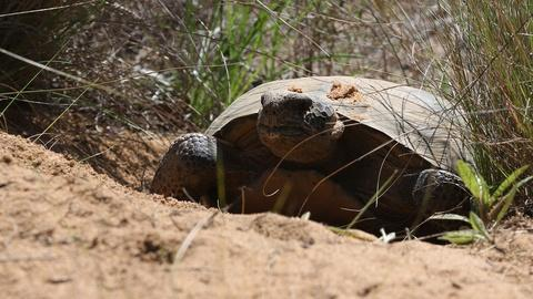 Nature -- How the Gopher Tortoise Saves Hundreds of Animals from Fires