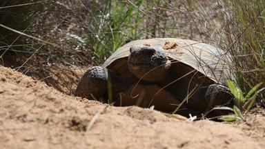 How the Gopher Tortoise Saves Hundreds of Animals from Fires