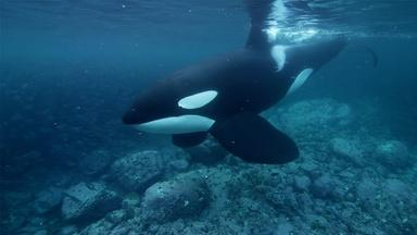 "Why are Orcas Known as the ""Wolves of the Sea""?"