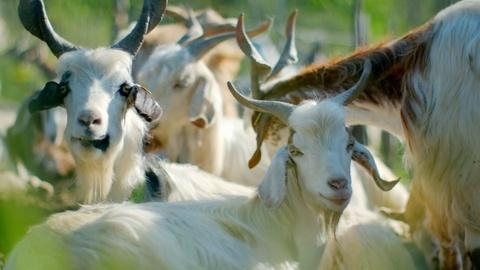 Nature -- Can Goats Predict Volcanic Eruptions?