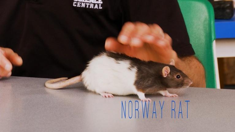 Science Minutes: Science Minutes: Norway Brown Rat