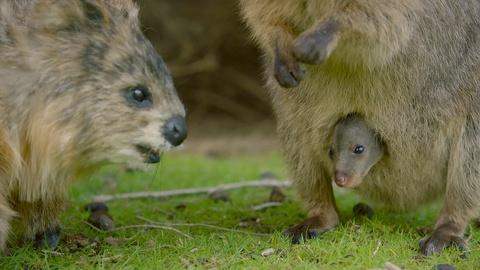 Nature -- Spy Quokka Meets a Joey