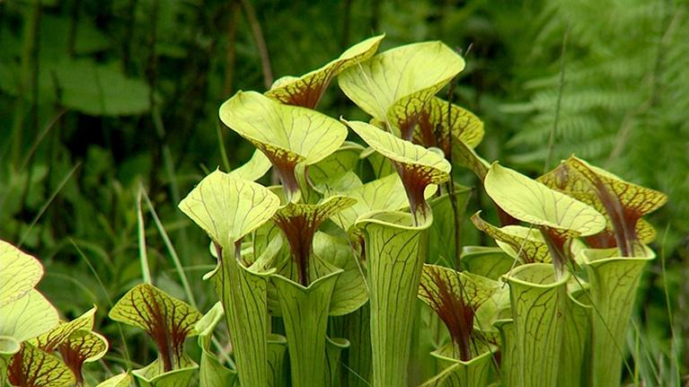 Virginia Home Grown: Pitcher Plants Conservation; Edible Landscaping (#1804)
