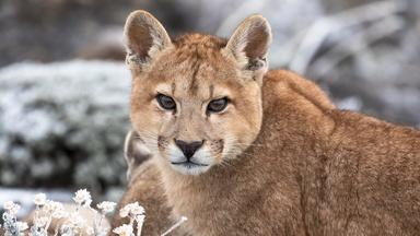 Mother Puma Teaches Daughter How to Hunt