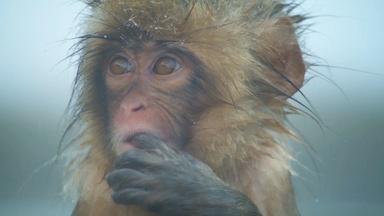 Spy Macaque Befriends a Curious Baby