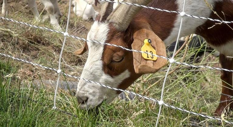 Access Northwest : Goats & Wildfire Prevention