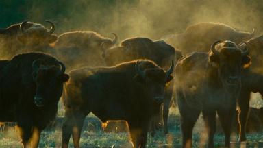 European Bison Roam Poland's Bialowieza Forest