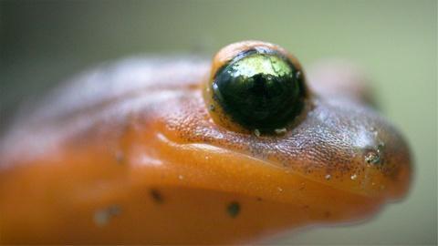 Deep Look -- Ensatina Salamanders Are Heading For a Family Split
