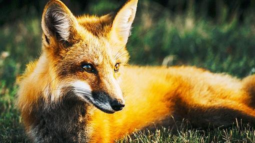 Animal IQ : Foxes: Dog Hardware, Cat Software