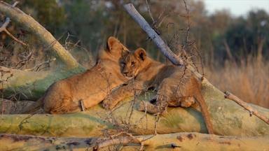 Lions Return to Mozambique's Gorongosa National Park