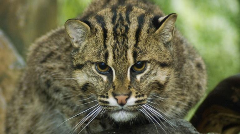 CET Community: Zoo CREW Using Science to Save Fishing Cats