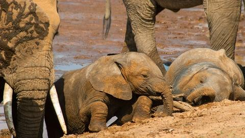 Nature's Great Race -- Elephants
