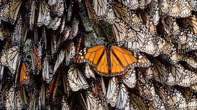Day of the Dead and Monarch Butterflies