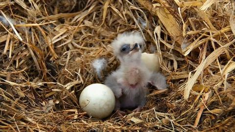 NOVA -- Watch Baby Eagles Hatch and Grow