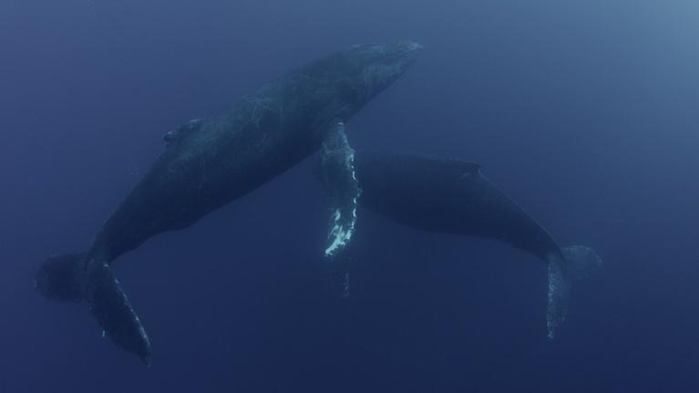 Big Pacific: Humpback Whales