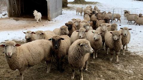 Nature -- Meet Nanne Kennedy & Her Sheep