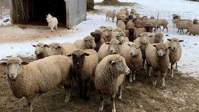 Nature | Meet Nanne Kennedy & Her Sheep