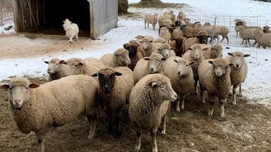 Meet Nanne Kennedy & Her Sheep