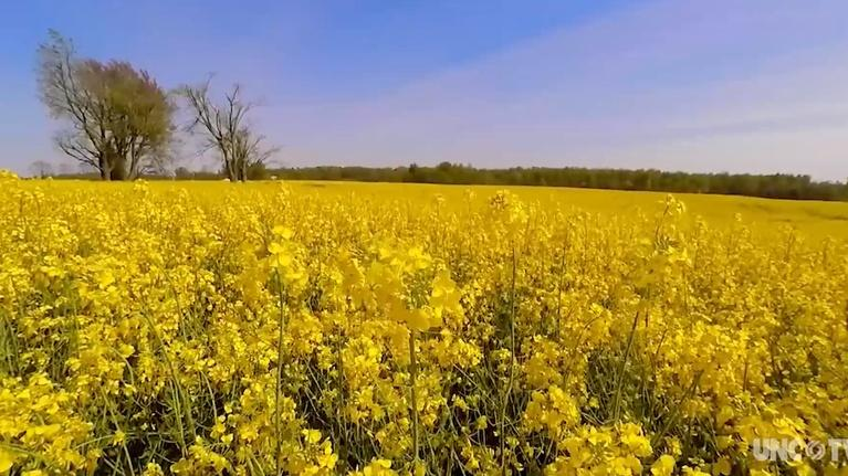 UNC-TV Science: Meet the scientist making canola oil healthier