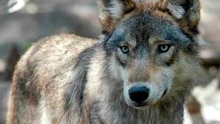Northwest Now Digital First: Washington Wolves