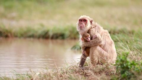 NOVA -- Macaque Monkeys Adapt After Hurricane Maria