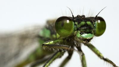 These Rare Damselflies Find Love With a Twist in Fog City