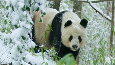 Rare Glimpse of Wild Panda In Heat