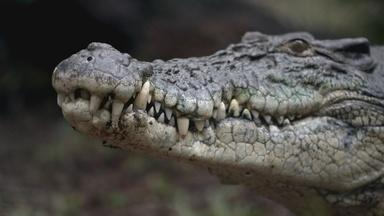 In Australia Aboriginal Peoples Hunt for Crocodile Eggs