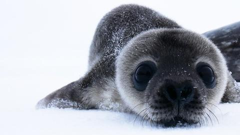 How Antarctica's Cutest Baby Seals Grow Up